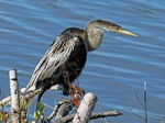 Anhinga side view