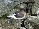 Antarctic Petrel on the stones