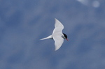 Antarctic Tern in flight