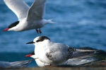 Antartic Tern near the sea