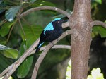 Asian Fairy Bluebird on the tree
