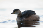 Australasian Grebe on water