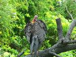 Australian Brush-turkey on a branch