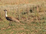 Australian Bustard in the desert