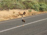 Australian Bustard on the road