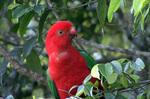 Australian King Parrot sitting