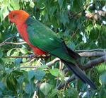Australian King Parrot on the branch