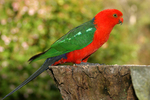 Australian King Parrot on the stump