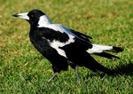 Australian Magpie on the grass