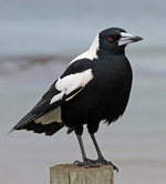 Australian Magpie on the stump