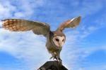 Australian Masked Owl preparing to fly