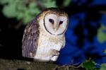 Australian Masked Owl sitting