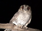 Australian Owlet-nightjar on the branch