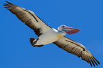 Australian Pelicans flying