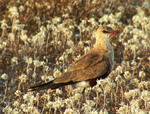 Australian Pratincole in the grass