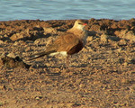 Australian Pratincole near the shore