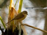 Australian Reed-warbler on reeds