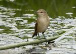 Australian reed warbler over water