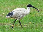Australian White Ibis on the earth