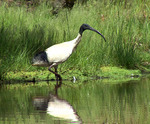 Australian White Ibis on the swamp