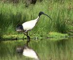 Australian White Ibis on the swamp