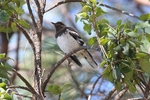 Aztec Thrush on the branch