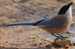 Azure-winged Magpie on the rocks