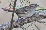Bachman's Sparrow on branch