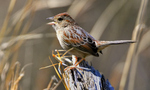 Bachman's Sparrow side view