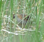 Baillon's Crake among the reeds