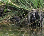Baillon's Crake near the water