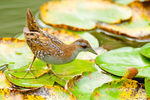 Baillon's Crake on water lily