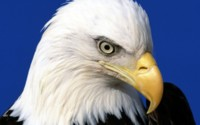 Baldeagle Portrait Wallpaper