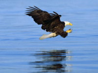 Baldeagle Water Wallpaper
