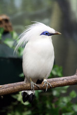 Bali Myna on the branch