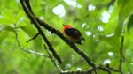 Band-tailed Manakin in forest