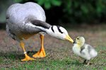 Bar-headed Goose with its baby