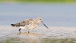 Bar-tailed Godwit in water