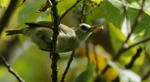 Bare-eyed White-eye among the foliage