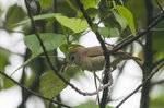 Bare-eyed White-eye on the branch