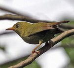 Bare-eyed White-eye side view