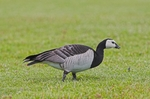 Barnacle Goose on the grass