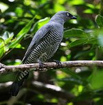 Barred Cuckoo-shrike in forest