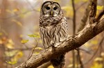 Barred Owl on the branch