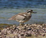 Beach Stone-curlew on the beach