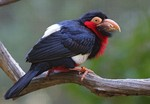 Bearded Barbet in forest
