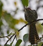 Beautiful Asian Koel