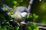 Beautiful Bar-throated Apalis