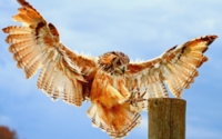 Bengal Eagle Owl Wallpaper