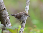 Bewick's Wren on the branch